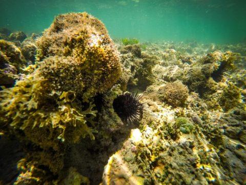 Os ouriços do mar são abundantes na região. Foto: Rafael Munhoz e W Benedetti