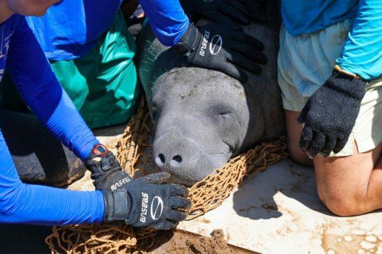 Peixe boi Ivi liberada após um período de recuperação e engorda. Foto: Rafael Munhoz