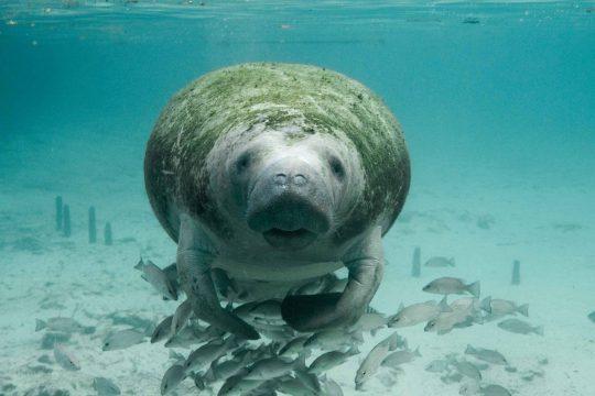 O peixe-boi pode chegar até 600 quilos. Foto: Divulgação